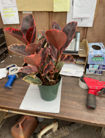 Ruby Red Rubber Ficus